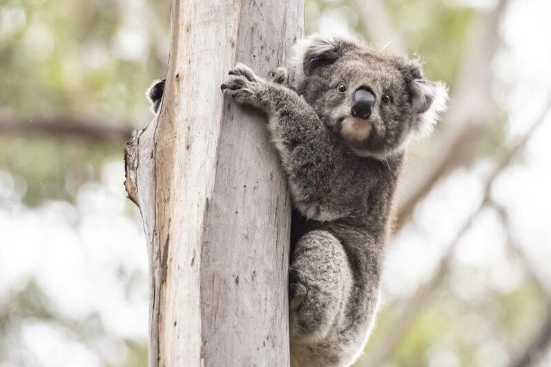 This koala was released into bushland around Mallacoota after recovering from its injuries.