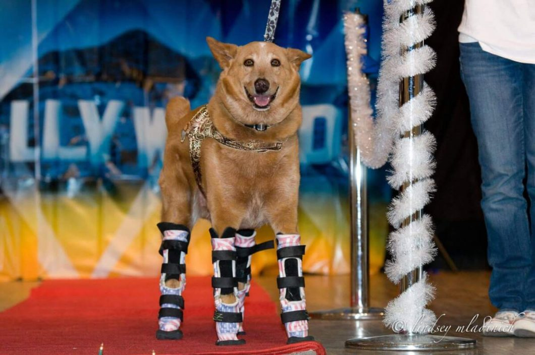 OrthoPets created new legs for Naki'o. He is the first dog in the world with 4 prosthetic legs, and has been dubbed the bionic dog!