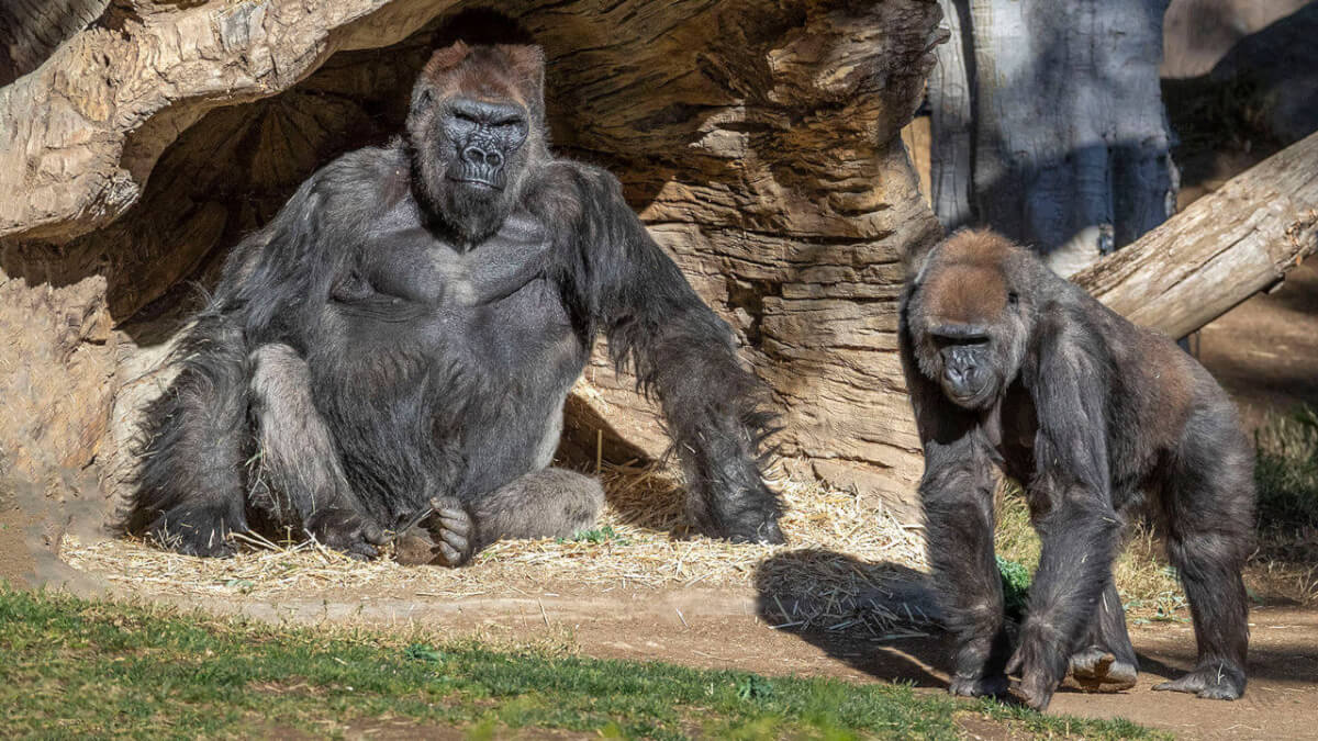 The San Diego Zoo's gorillas is cause for celebration, as eight western gorillas who had sadly contracted COVID-19 earlier this year have fully recovered.