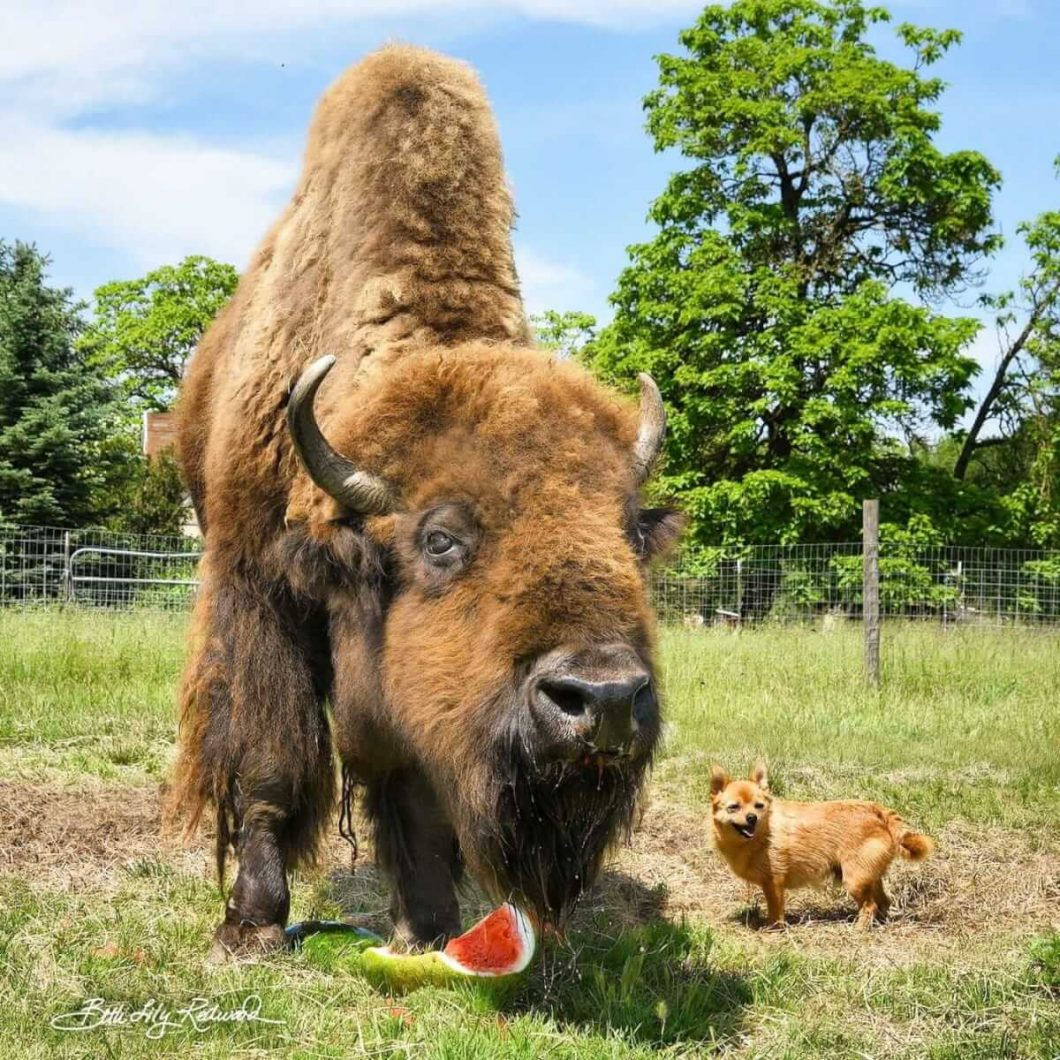Blind bison enjoying watermelon while hanging out with a dog