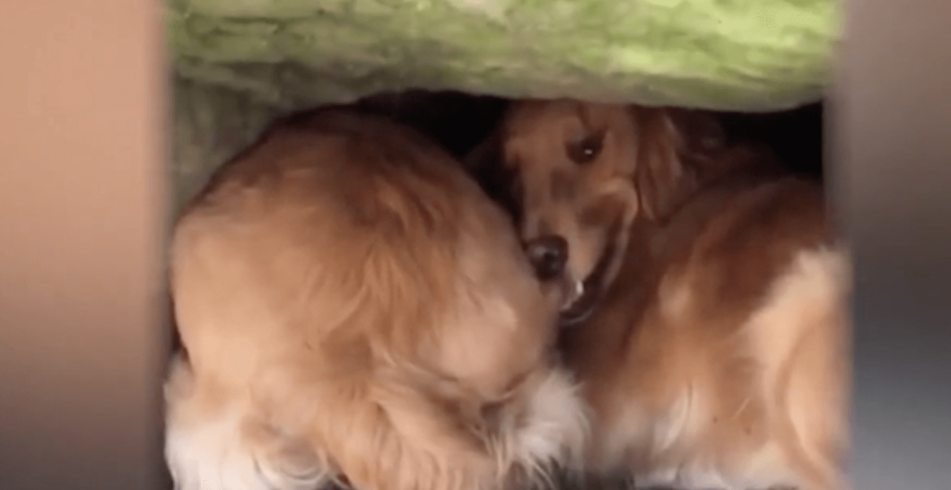 Golden retriever with head stuck under boulder rescued after nearly 20 hours
