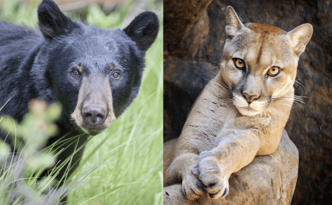 Court Puts a Stop to Senseless Killing of Mountain Lions and Black Bears in Colorado