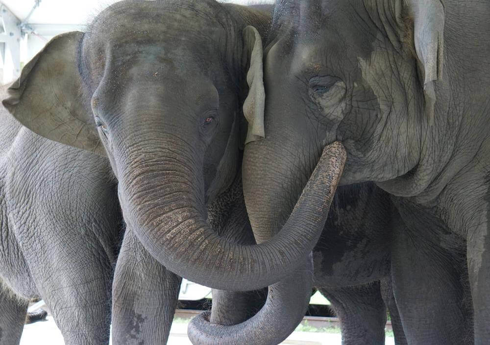 In this Sept. 2019, photo provided by the White Oak Conservation, Asian elephants, Kelly Ann, born Jan. 1, 1996, and Mable, born April 6, 2006, are seen at the Center for Elephant Conservation in Polk City, Fla. A Florida wildlife sanctuary is building a new 2,500-acre home for former circus elephants.