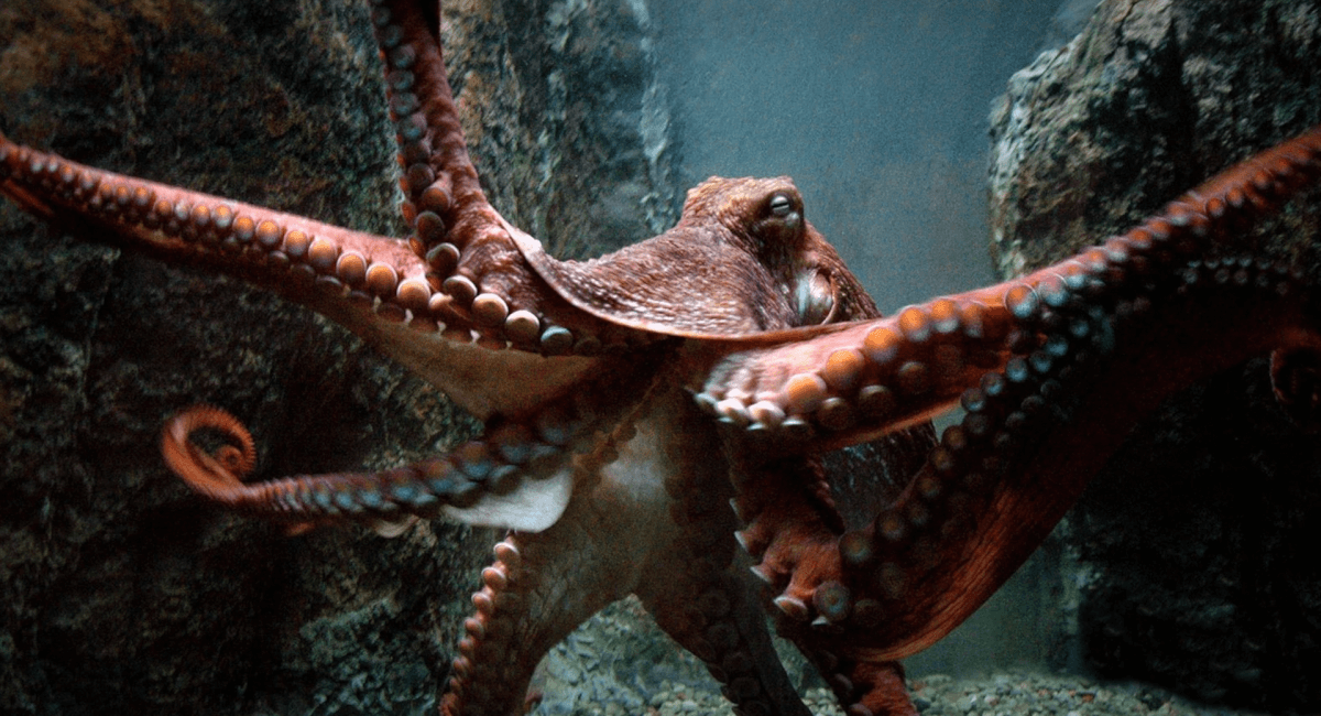 Interesting fact, a giant pacific octopus has 3 hearts