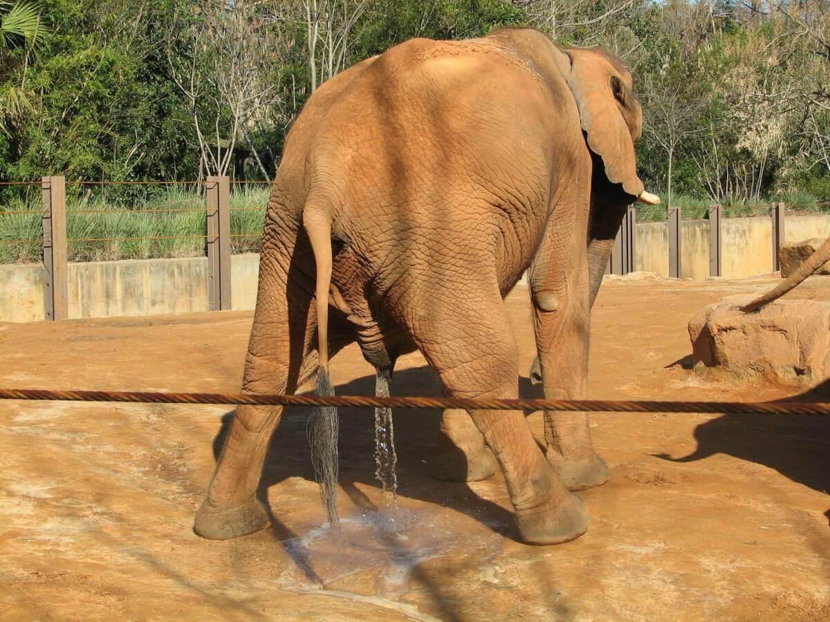 An elephant emptying its bladder
