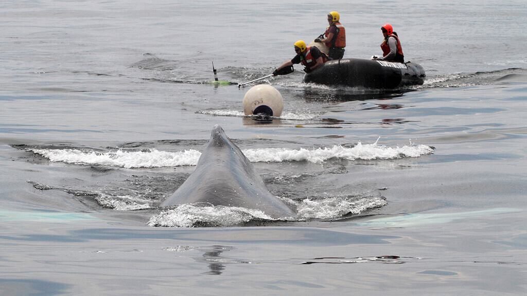 Entangled Humpback Whale Near Boston Harbor Freed by Rescuers