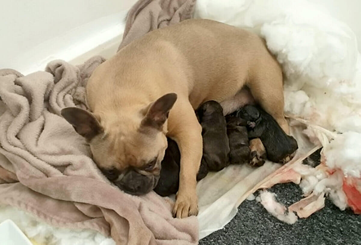 A French bulldog stolen last month is set to be reunited with her owner after being rescued by cops while giving birth to her pups.