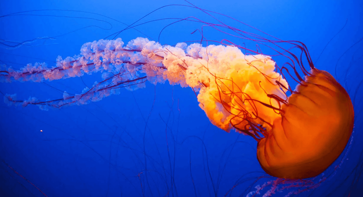 Interesting fact: Jellyfish are older than dinosaurs