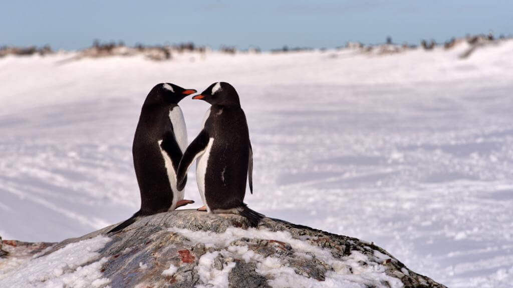 Two penguins who are in love