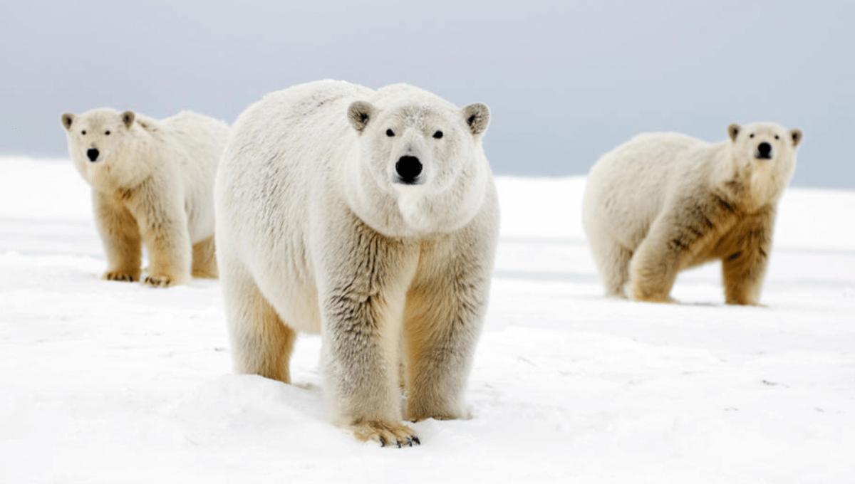 Three polar bears with white fur and black skin