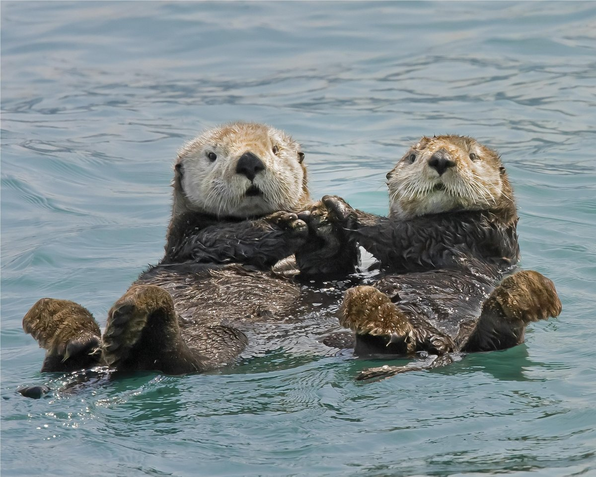 Sea otters holding paws