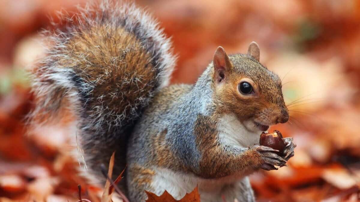 A squirrel enjoying an acorn