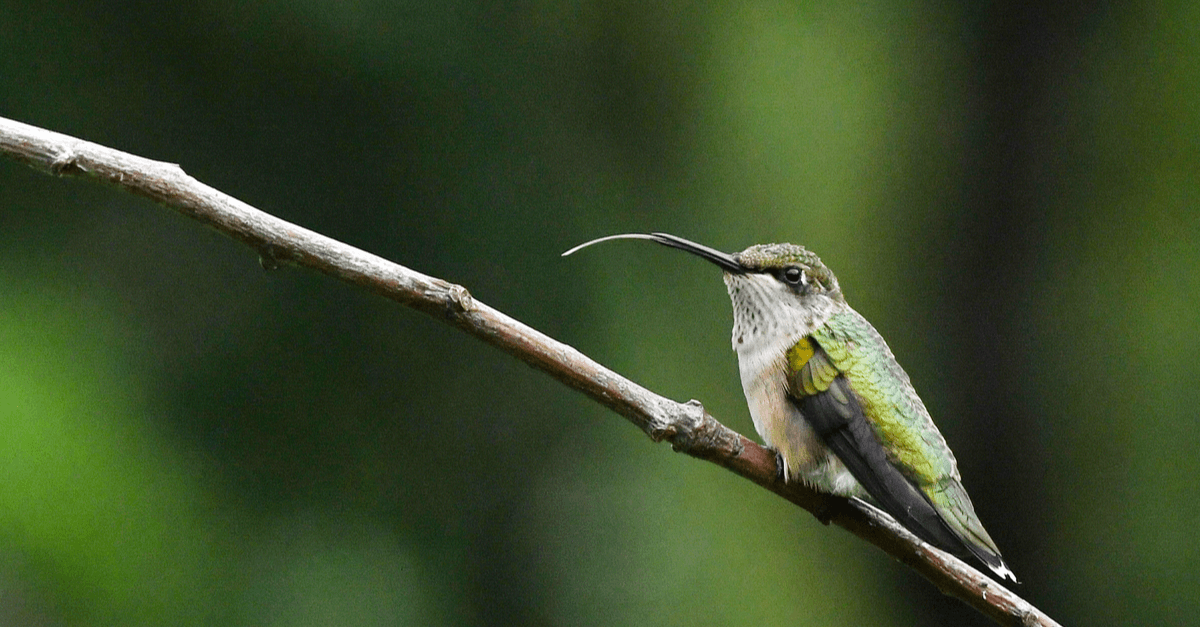 A woodepcker showing off its really long tongue