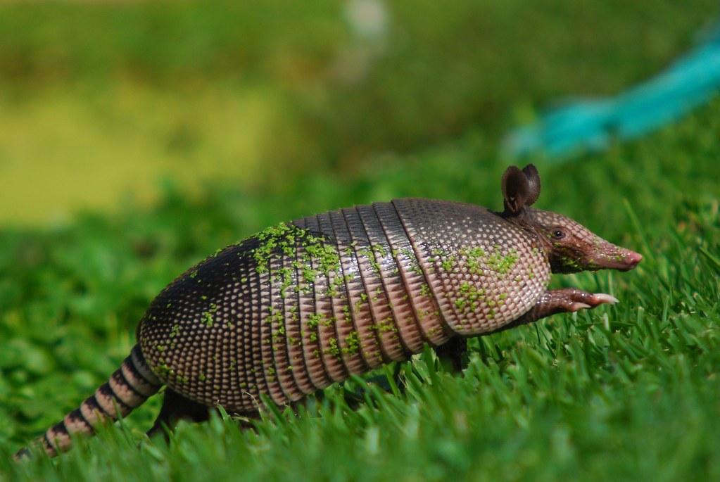 armadillo running in grass