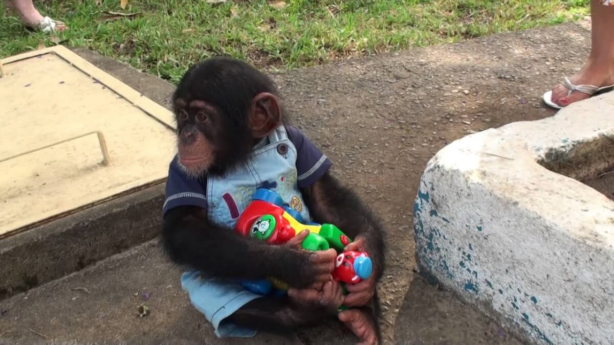A baby chimp having fun and playing with toys