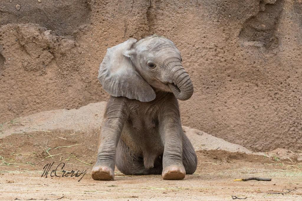 baby elephant sucking trunk