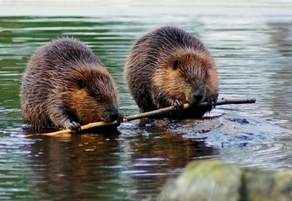 Two beavers in a relationship eating together