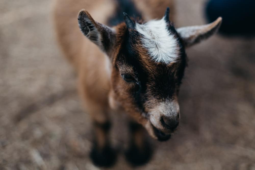 a cute goat with an accent