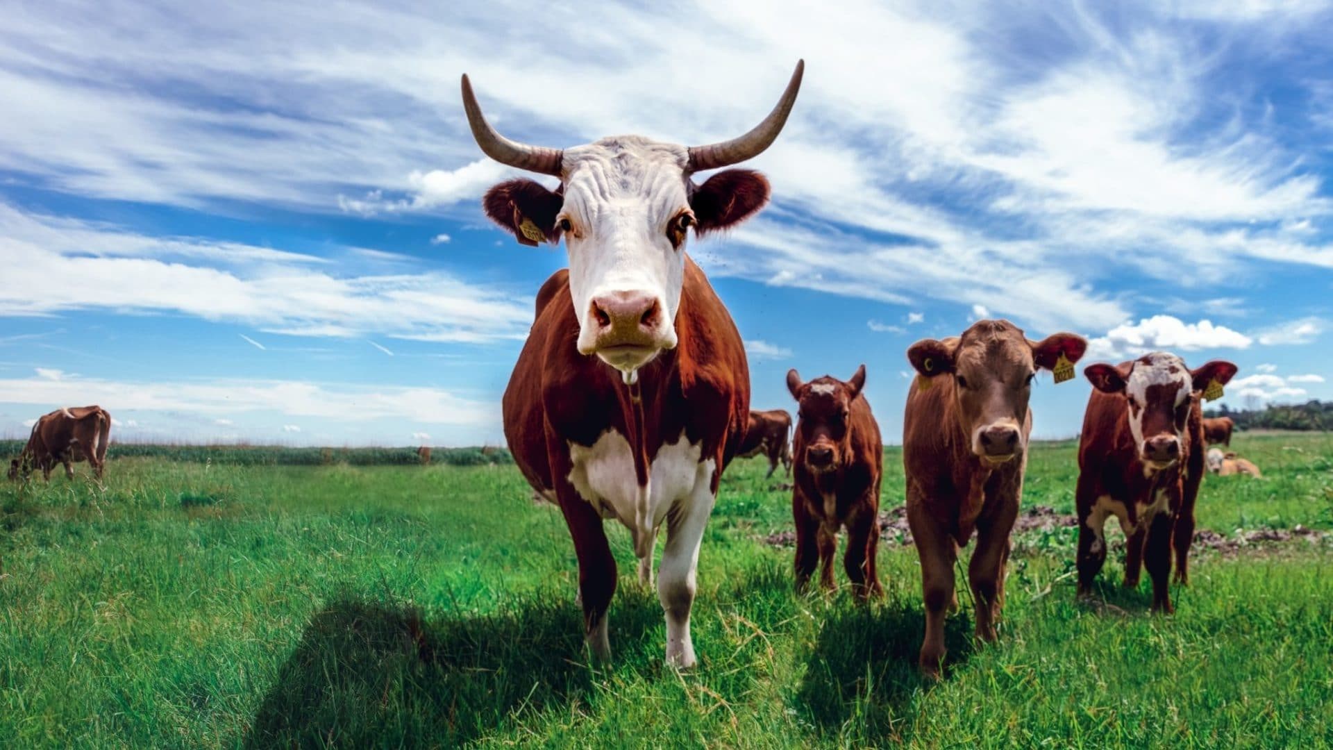 Herd of cows outnumbering humans in Montana