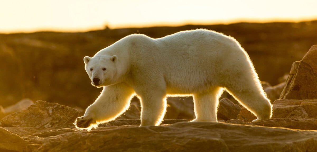 A polar bear roaming around in Ireland