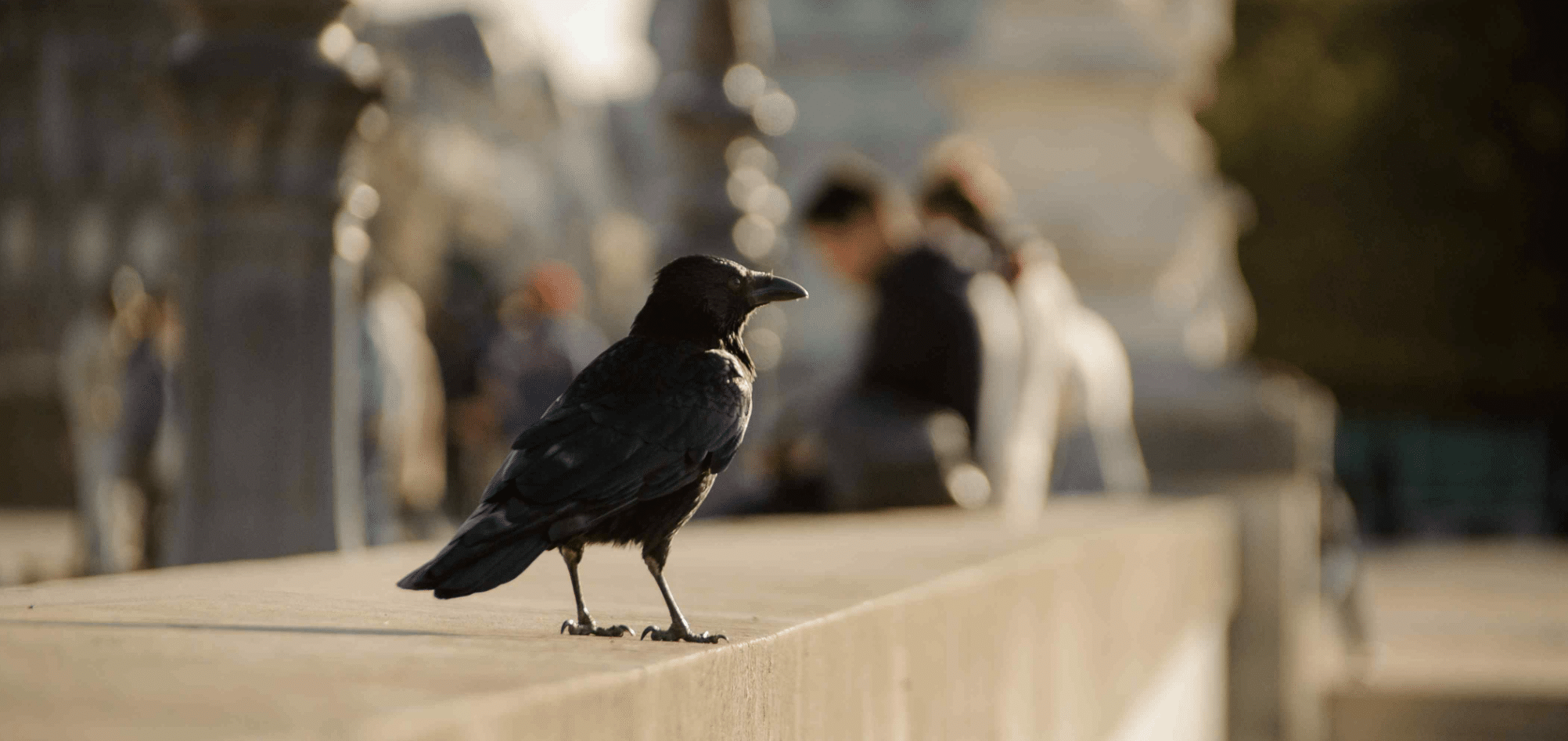 Crows often hold grudges against specific people