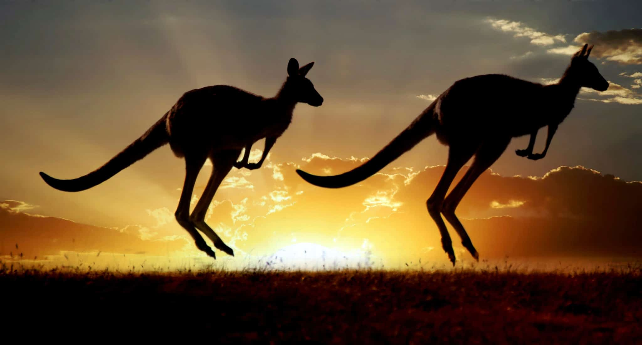 Kangaroos use their tails for balance whilst hopping