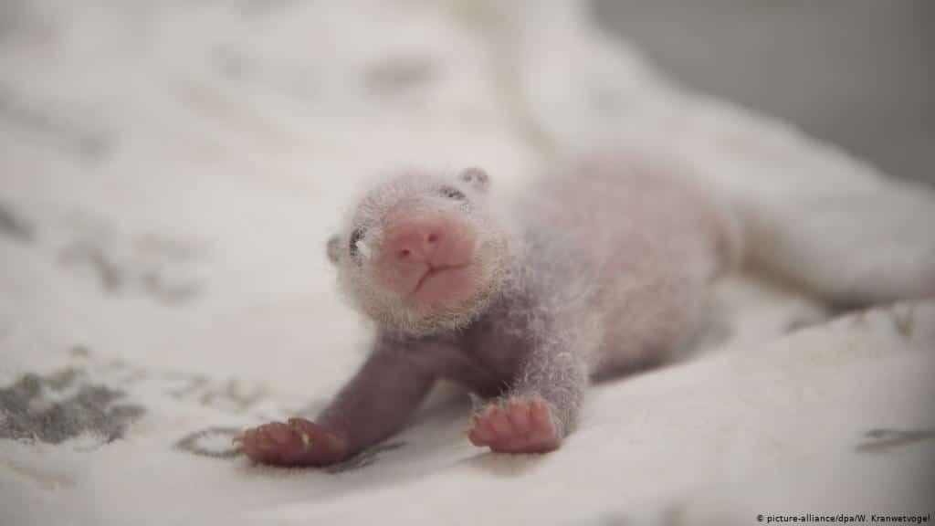 a cute and happy baby panda