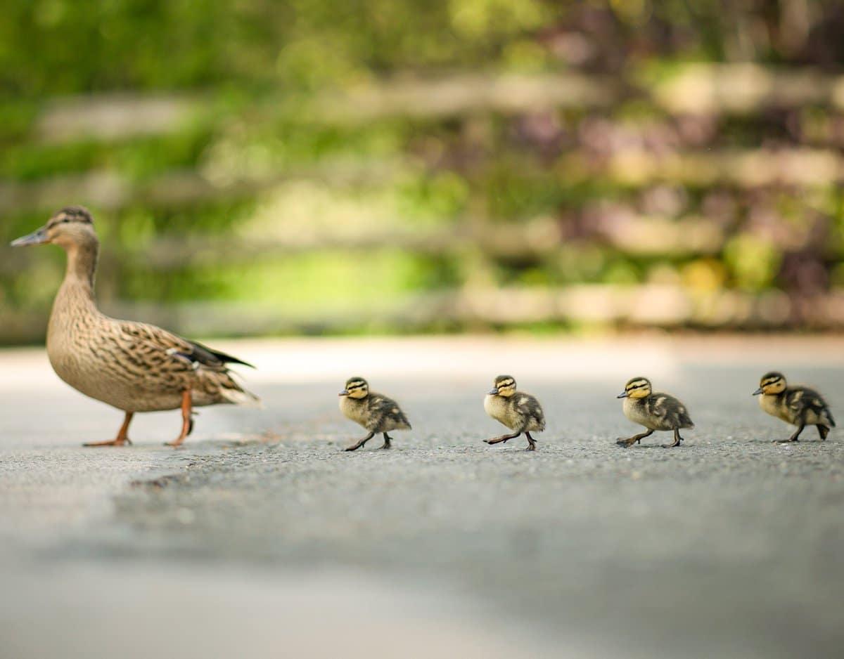 A happy family of ducks walking across the road