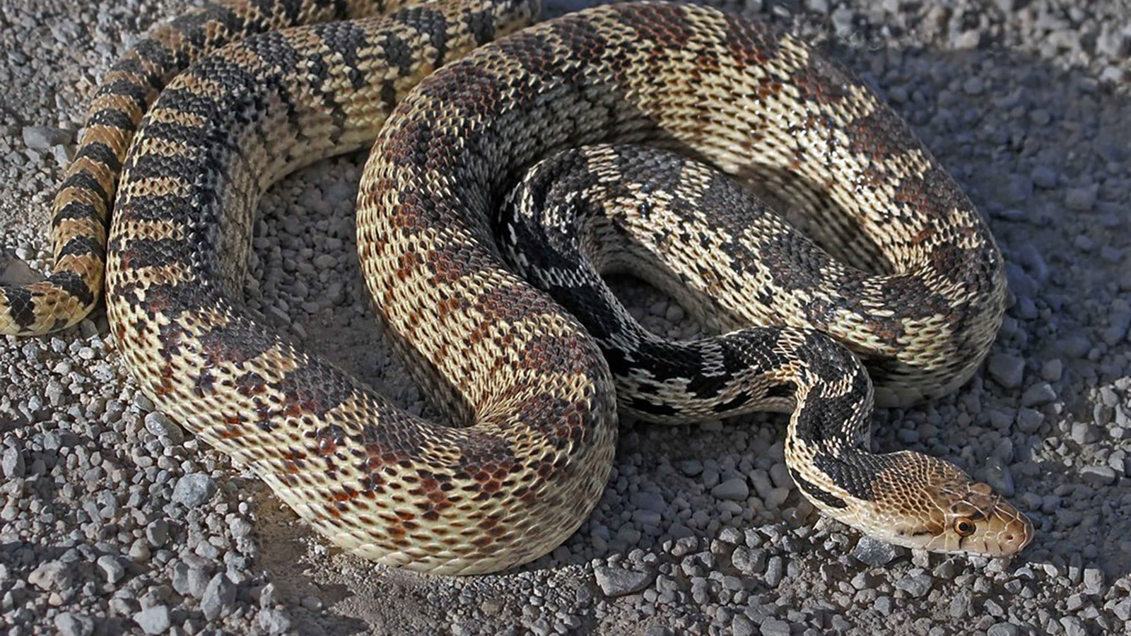 Snakes can sense earthquakes from as far as 75 miles away (121 km) and as many as five days before it actually occurs!
