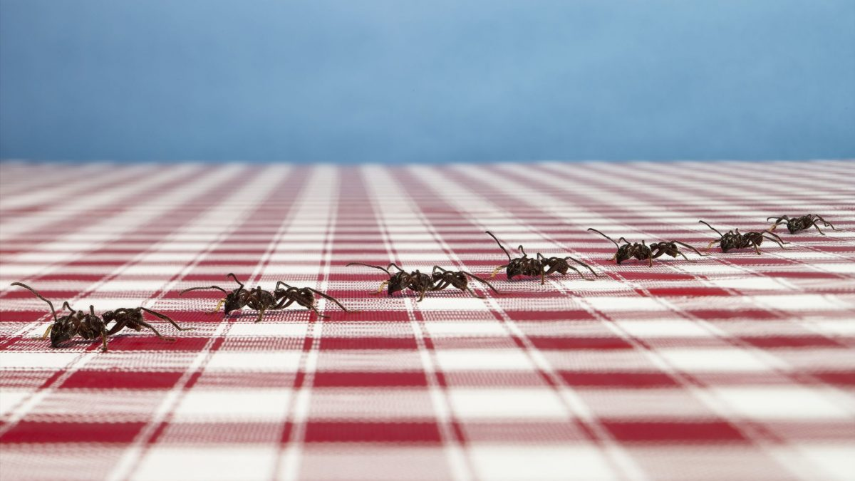 Ants leave maps for other ants when they walk