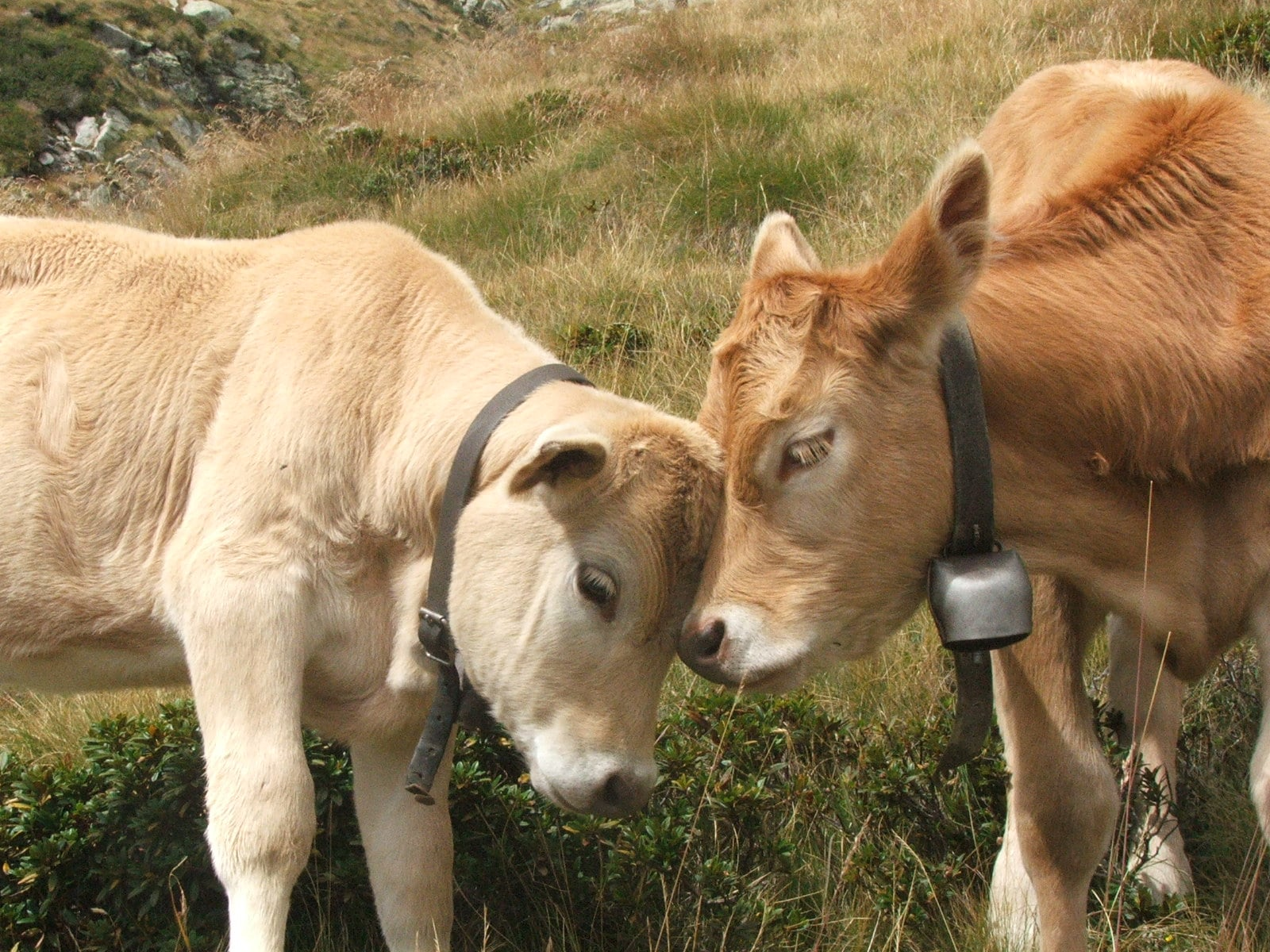 Two cows enjoying each others friendship