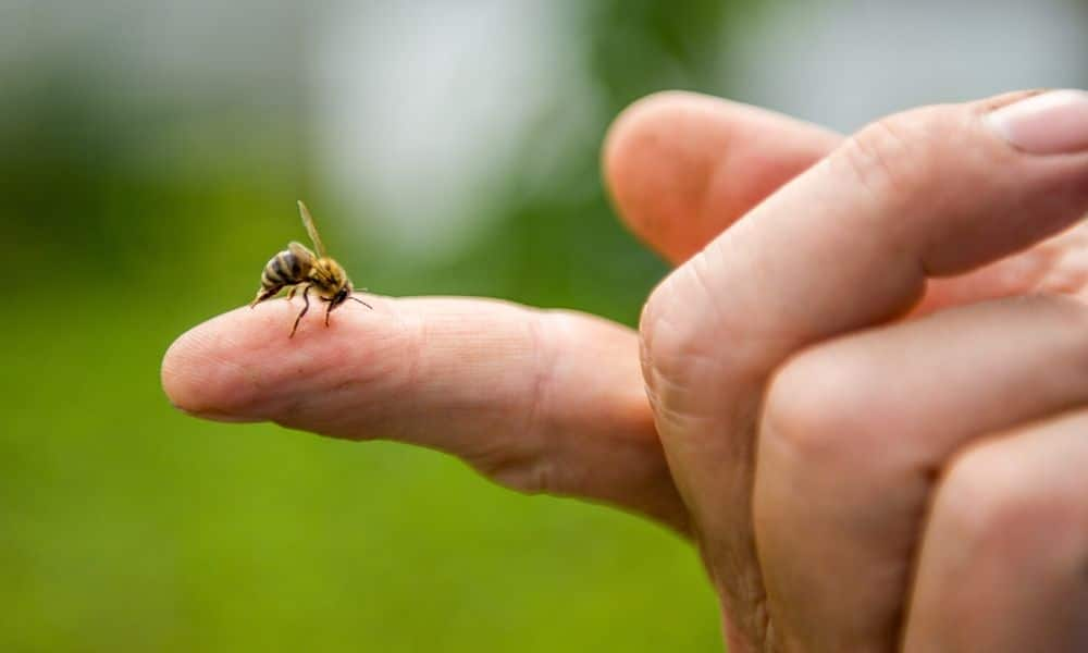 A honey bee on the index finger of a human