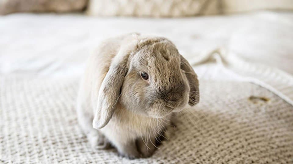 The rabbit, with his unusually large protruding eyes located high on the sides of his head, has a field of vision of almost 360 degrees