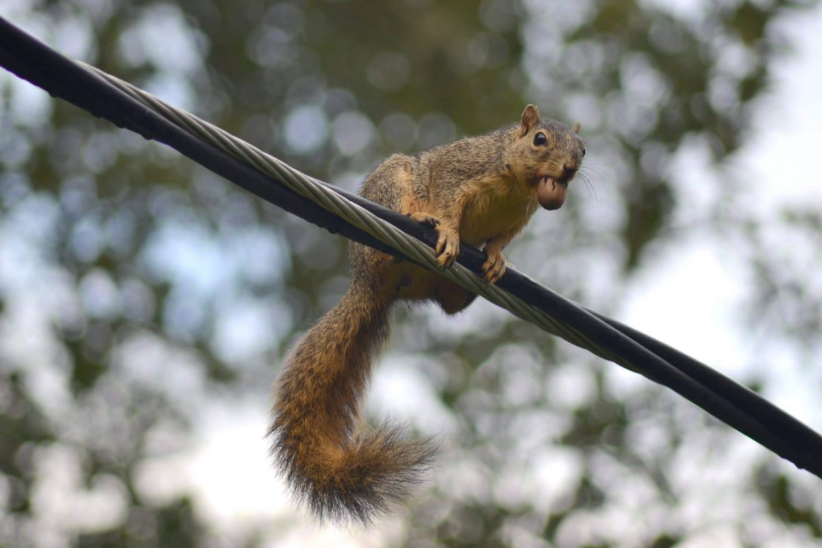 Squirrel on a power line with a pecan in its mouth