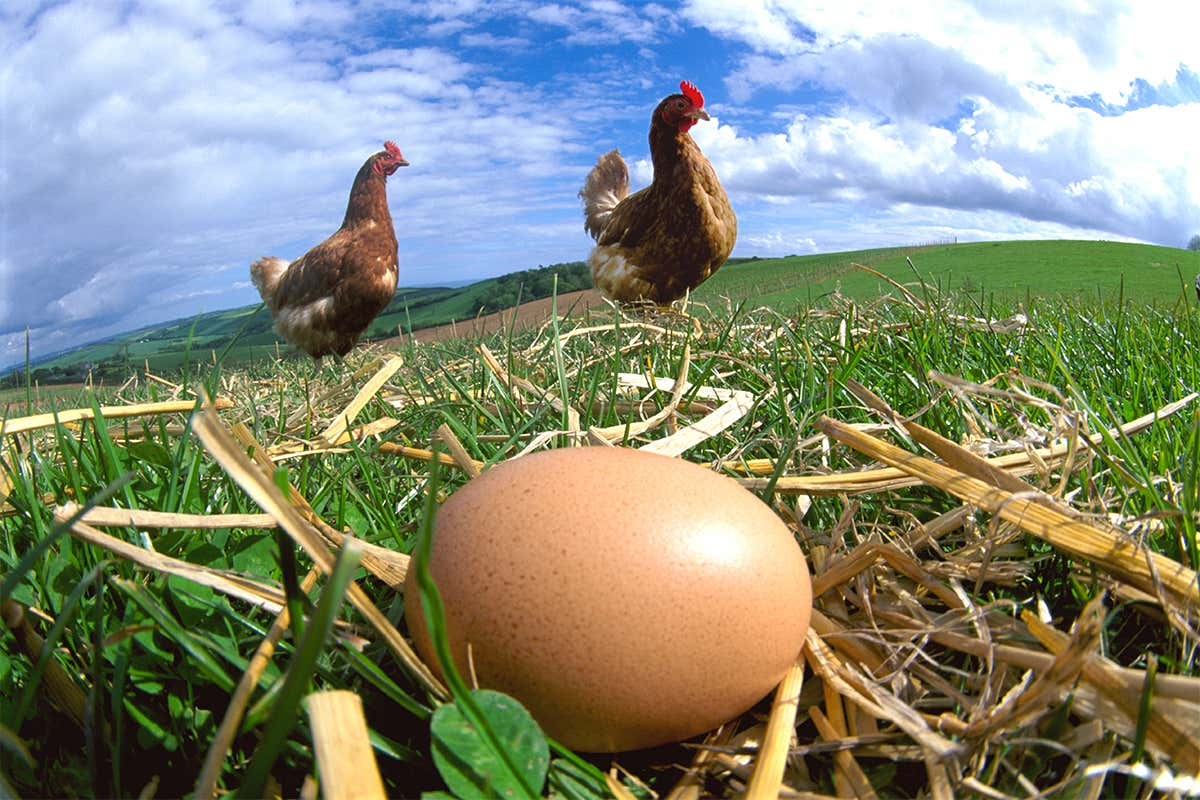 According to Genesis 1:20-22, the chicken came before the egg