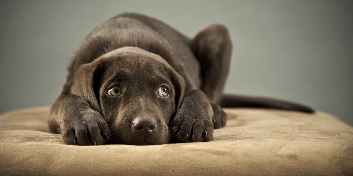 A sad chocolate lab watching his emotional owner