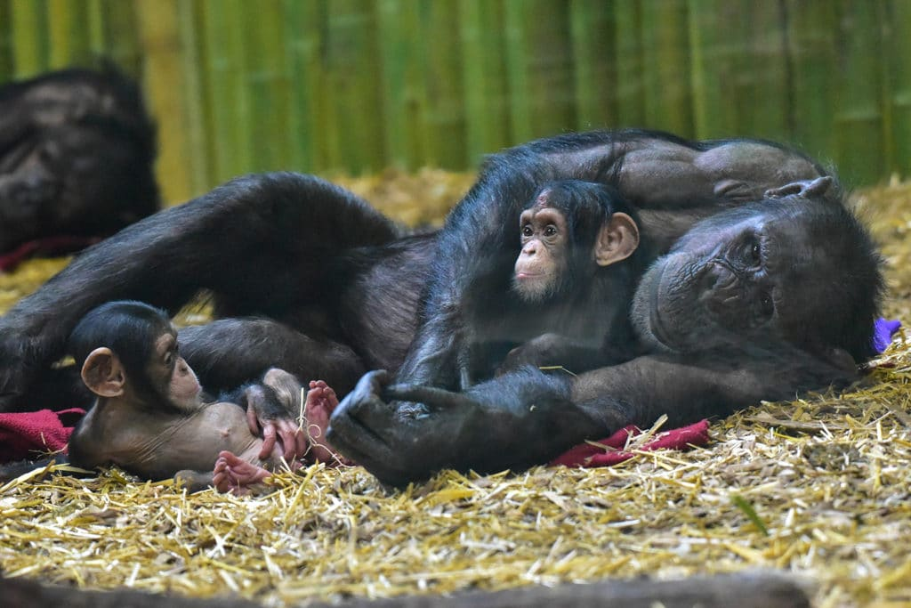Baby chimpanzees being helped and nurtured by their loving mother