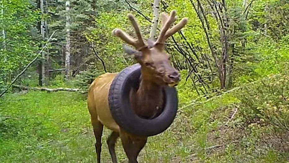 A bull elk with a tire around its neck