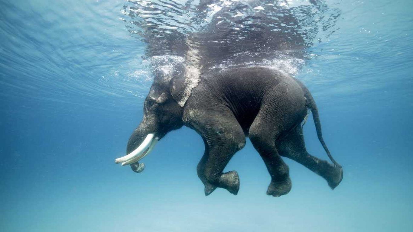 An elephant swimming under water