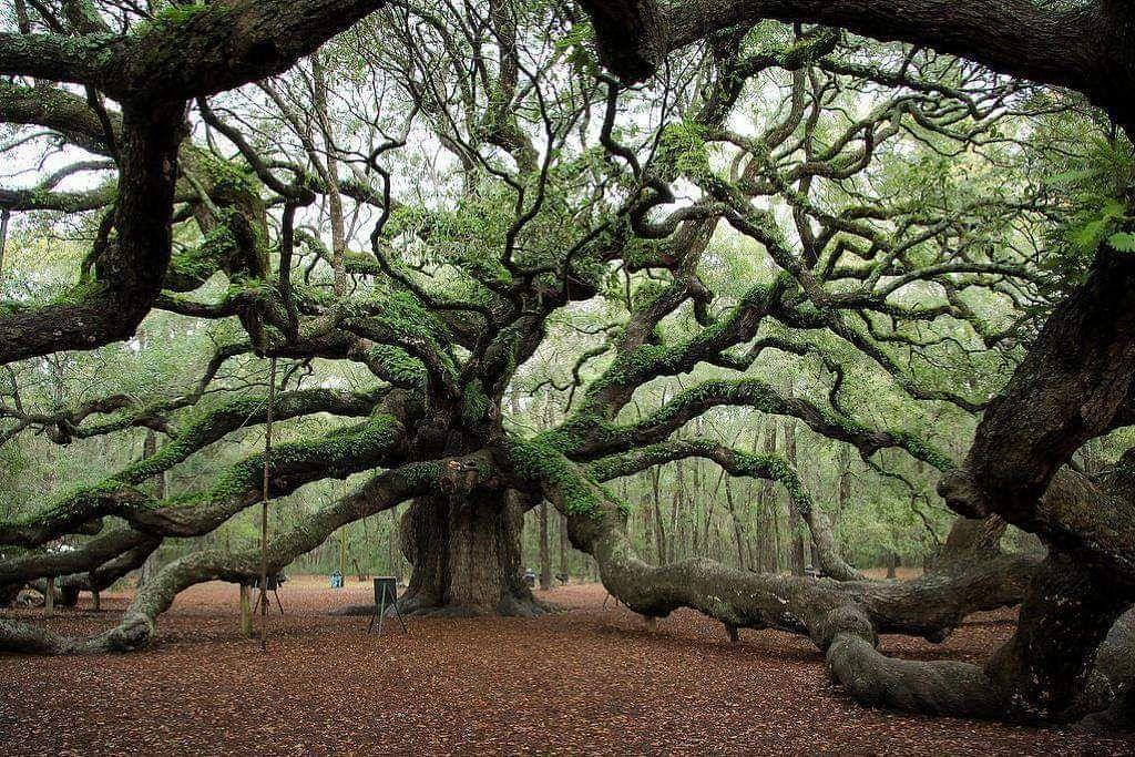 1,500 year old Angel Oak tree in South Carolina