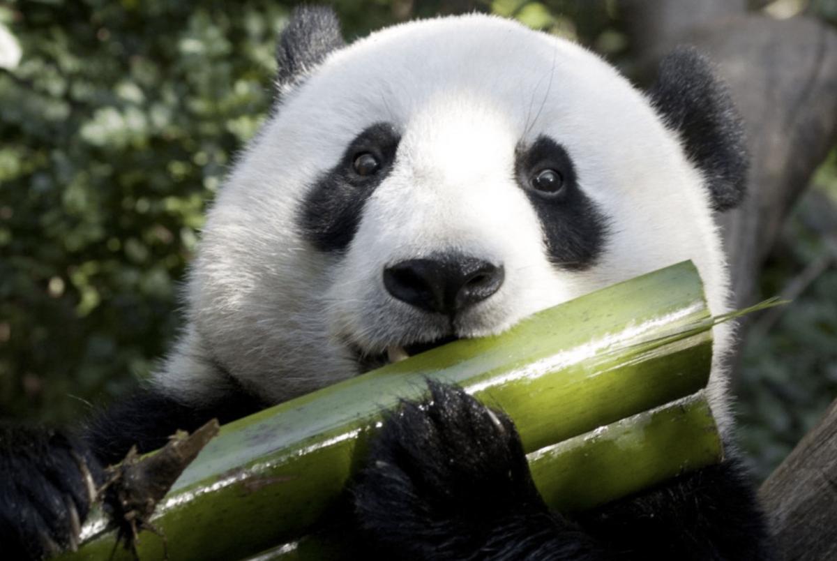 A panda enjoying bamboo grass