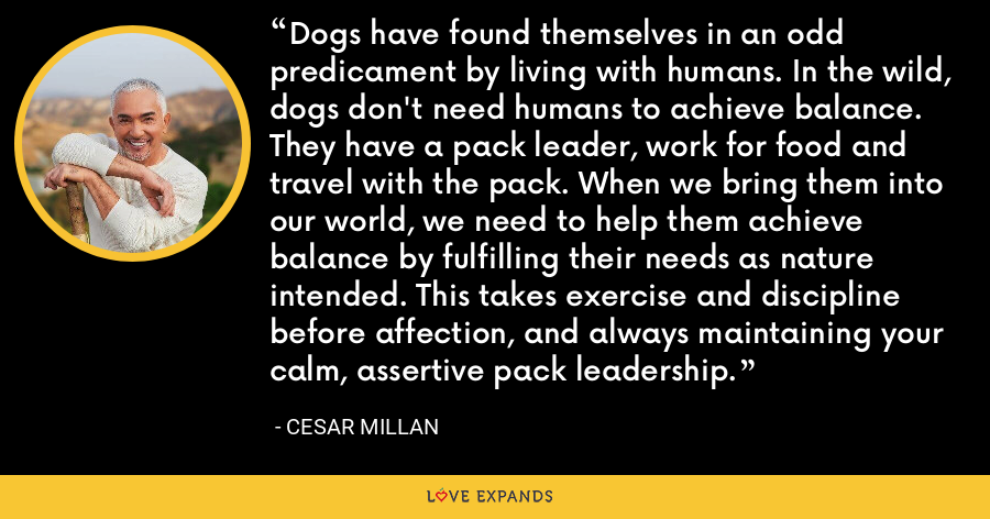 Dogs have found themselves in an odd predicament by living with humans. In the wild, dogs don't need humans to achieve balance. They have a pack leader, work for food and travel with the pack. When we bring them into our world, we need to help them achieve balance by fulfilling their needs as nature intended. This takes exercise and discipline before affection, and always maintaining your calm, assertive pack leadership. - Cesar Millan