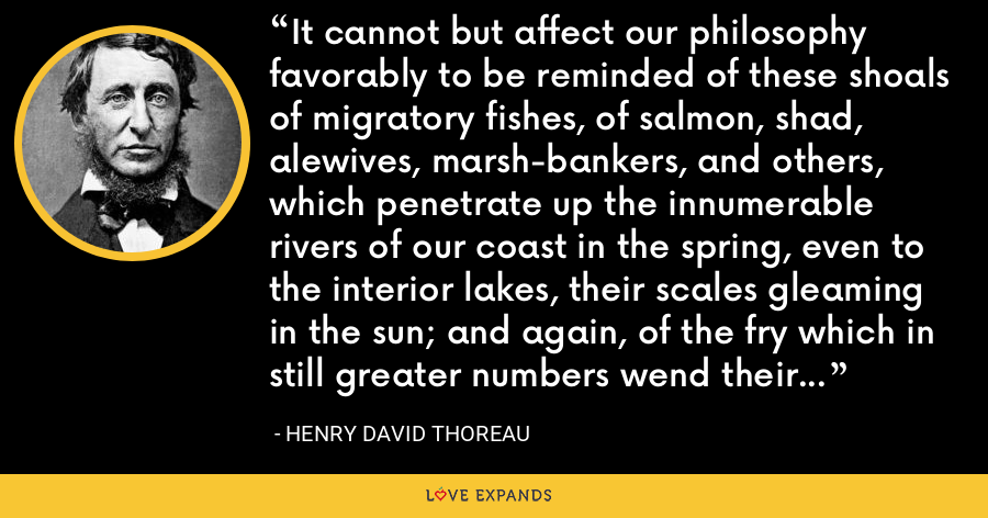 It cannot but affect our philosophy favorably to be reminded of these shoals of migratory fishes, of salmon, shad, alewives, marsh-bankers, and others, which penetrate up the innumerable rivers of our coast in the spring, even to the interior lakes, their scales gleaming in the sun; and again, of the fry which in still greater numbers wend their way downward to the sea. - Henry David Thoreau