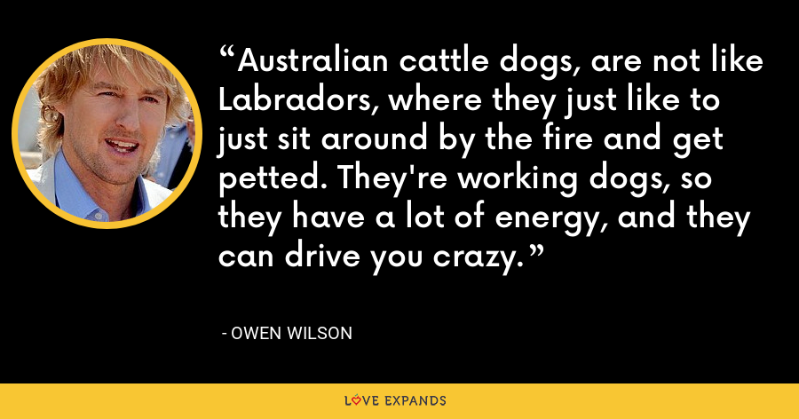 Australian cattle dogs, are not like Labradors, where they just like to just sit around by the fire and get petted. They're working dogs, so they have a lot of energy, and they can drive you crazy. - Owen Wilson
